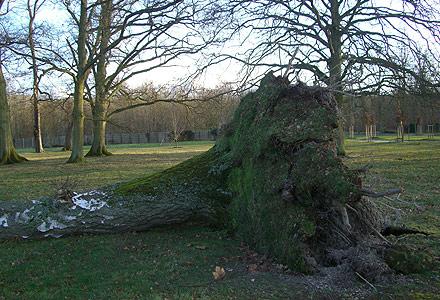 Arbre déraciné dans le parc © F. Sancho