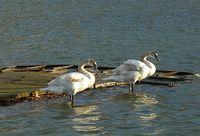 Oiseaux réunis sur le  Grand Canal ©  Françoise Sancho